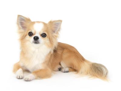 エムドッグス,動物プロダクション,ペットモデル,ペットタレント,モデル犬,タレント犬,チワワ,いろは