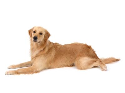 エムドッグス,動物プロダクション,ペットモデル,ペットタレント,モデル犬,タレント犬,ゴールデンレトリーバー,マルス