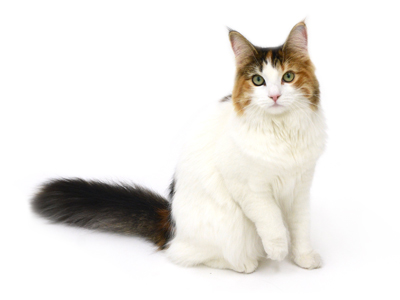 エムドッグス,動物プロダクション,ペットモデル,ペットタレント,モデル猫,タレント猫,ノルウェージャンフォレストキャット,モカ