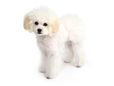 エムドッグス,動物プロダクション,ペットモデル,ペットタレント,モデル犬,タレント犬,トイプードル,胡桃ゑスポワール