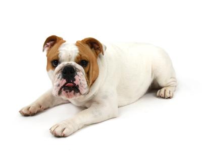 エムドッグス,動物プロダクション,ペットモデル,ペットタレント,モデル犬,タレント犬,イングリッシュブルドッグ,ラブトニー