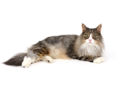 エムドッグス,動物プロダクション,ペットモデル,ペットタレント,モデル猫,タレント猫,ノルウェージャンフォレストキャット,Guri,グリ