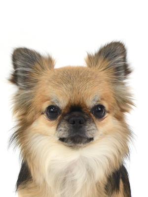エムドッグス,動物プロダクション,ペットモデル,ペットタレント,モデル犬,タレント犬,チワワ,チップ