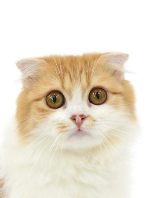 エムドッグス,動物プロダクション,ペットモデル,ペットタレント,モデル猫,タレント猫,スコティッシュフォールド,モカ