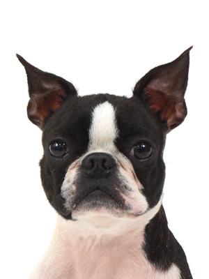 エムドッグス,動物プロダクション,ペットモデル,ペットタレント,モデル犬,タレント犬,ボストンテリア,みゆ