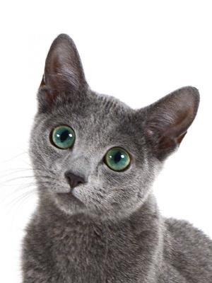 エムドッグス,動物プロダクション,ペットモデル,ペットタレント,モデル猫,タレント猫,ロシアンブルー,ピロ