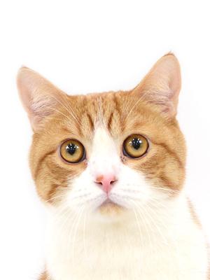エムドッグス,動物プロダクション,ペットモデル,ペットタレント,モデル猫,タレント猫,スコティッシュフォールド,茶太郎,ちゃたろう