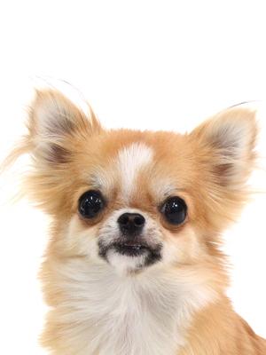 エムドッグス,動物プロダクション,ペットモデル,ペットタレント,モデル犬,タレント犬,チワワ,ラル