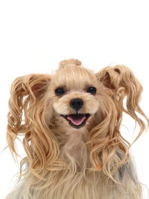 エムドッグス,動物プロダクション,ペットモデル,ペットタレント,モデル犬,タレント犬,ヨークシャーテリア,りれら