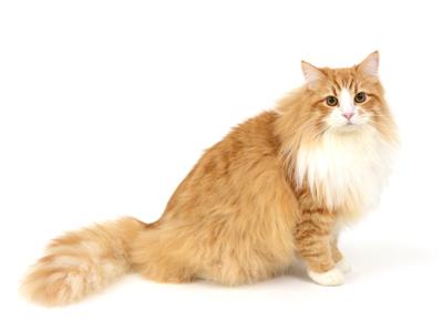 エムドッグス,動物プロダクション,ペットモデル,ペットタレント,モデル猫,タレント猫,サイベリアン,マリン