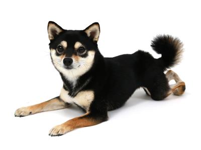 エムドッグス,動物プロダクション,ペットモデル,ペットタレント,モデル犬,タレント犬,柴犬,永遠,とわ