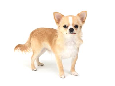エムドッグス,動物プロダクション,ペットモデル,ペットタレント,モデル犬,タレント犬,チワワ,リッキー