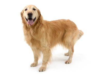 エムドッグス,動物プロダクション,ペットモデル,ペットタレント,モデル犬,タレント犬,ゴールデンレトリーバー,薫,かおる