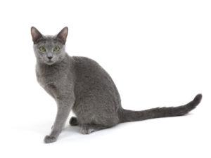 エムドッグス,動物プロダクション,ペットモデル,ペットタレント,モデル猫,タレント猫,ロシアンブルー,ボル