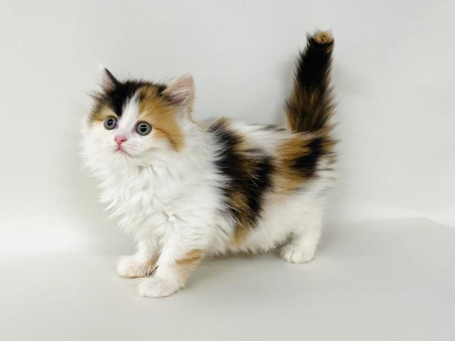 エムドッグス,動物プロダクション,ペットモデル,ペットタレント,モデル猫,タレント猫,サイベリアン,キャリコ