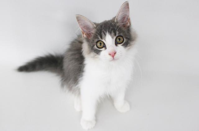 エムドッグス,動物プロダクション,ペットモデル,ペットタレント,モデル猫,タレント猫,サイベリアン,ブルータビーホワイト