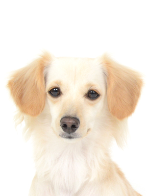 エムドッグス,動物プロダクション,ペットモデル,ペットタレント,モデル犬,タレント犬,MIX,Ace,エース