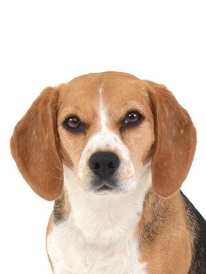 エムドッグス,動物プロダクション,ペットモデル,ペットタレント,モデル犬,タレント犬,ビーグル,ルル