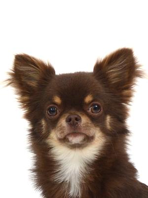 エムドッグス,動物プロダクション,ペットモデル,ペットタレント,モデル犬,タレント犬,チワワ,くく