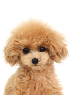 エムドッグス,動物プロダクション,ペットモデル,ペットタレント,モデル犬,タレント犬,トイプードル,プティ