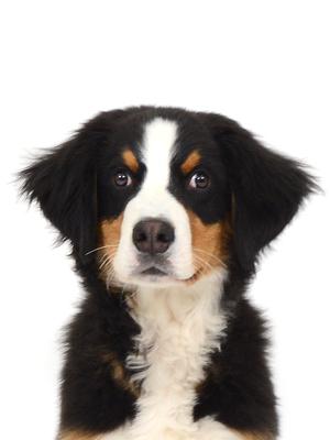 エムドッグス,動物プロダクション,ペットモデル,ペットタレント,モデル犬,タレント犬,バーニーズマウンテンドッグ,羽波,バーナー