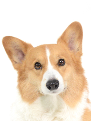 エムドッグス,動物プロダクション,ペットモデル,ペットタレント,モデル犬,タレント犬,ウェルシュコーギー,やまと