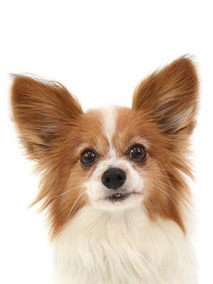 エムドッグス,動物プロダクション,ペットモデル,ペットタレント,モデル犬,タレント犬,パピヨン,びす太