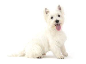 エムドッグス,動物プロダクション,ペットモデル,ペットタレント,モデル犬,タレント犬,ウエストハイランドホワイトテリア,ロン