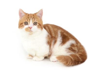 エムドッグス,動物プロダクション,ペットモデル,ペットタレント,モデル猫,タレント猫,マンチカン,つくし
