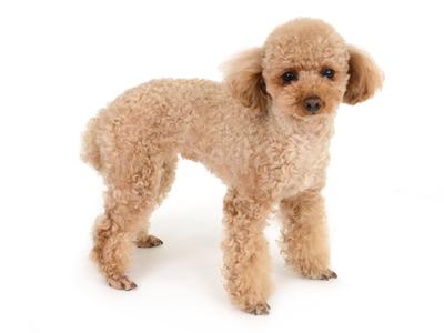 エムドッグス,動物プロダクション,ペットモデル,ペットタレント,モデル犬,タレント犬,トイプードル,むぎ