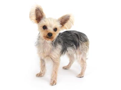 エムドッグス,動物プロダクション,ペットモデル,ペットタレント,モデル犬,タレント犬,ヨークシャーテリア,こなつ
