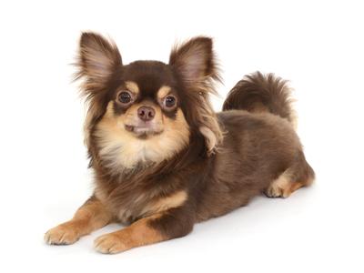 エムドッグス,動物プロダクション,ペットモデル,ペットタレント,モデル犬,タレント犬,チワワ,ぽんず