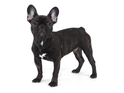 エムドッグス,動物プロダクション,ペットモデル,ペットタレント,モデル犬,タレント犬,フレンチブルドッグ,ぶん太