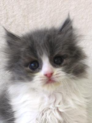 エムドッグス,動物プロダクション,ペットモデル,ペットタレント,モデル猫,タレント猫,サイベリアン,子猫