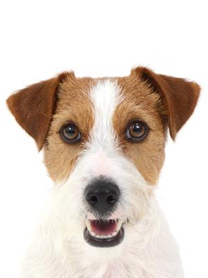 エムドッグス,動物プロダクション,ペットモデル,ペットタレント,モデル犬,タレント犬,ジャックラッセルテリア,Roy,ロイ