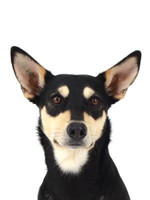 エムドッグス,動物プロダクション,ペットモデル,ペットタレント,モデル犬,タレント犬,オーストラリアンケルピー,萌,めい