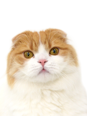 エムドッグス,動物プロダクション,ペットモデル,ペットタレント,モデル猫,タレント猫,スコティッシュフォールド,せな