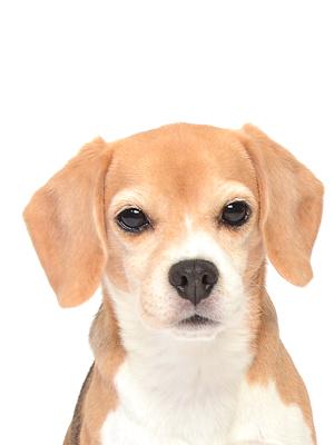 エムドッグス,動物プロダクション,ペットモデル,ペットタレント,モデル犬,タレント犬,ビーグル,Chiko,チコ