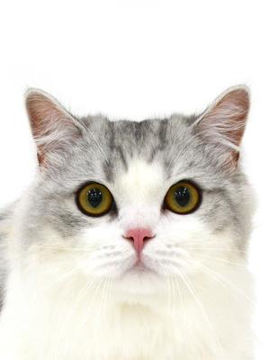 エムドッグス,動物プロダクション,ペットモデル,ペットタレント,モデル猫,タレント猫,ミヌエット,Chirol,チロル