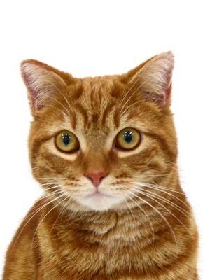 エムドッグス,動物プロダクション,ペットモデル,ペットタレント,モデル猫,タレント猫,スコティッシュフォールド,しんば