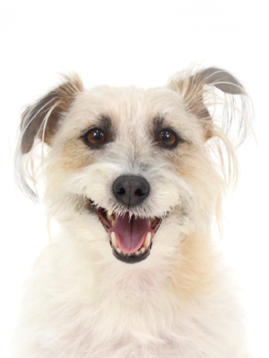 エムドッグス,動物プロダクション,ペットモデル,ペットタレント,モデル犬,タレント犬,ジャックラッセルテリア,いぶ