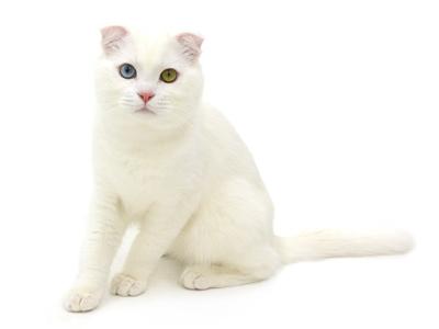 エムドッグス,動物プロダクション,ペットモデル,ペットタレント,モデル猫,タレント猫,スコティッシュフォールド,クリーム