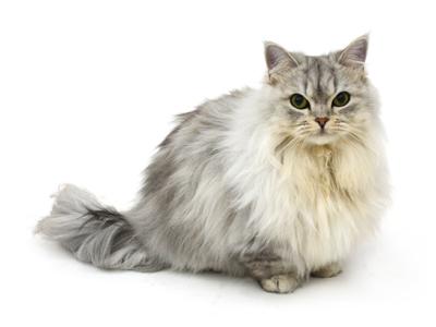 エムドッグス,動物プロダクション,ペットモデル,ペットタレント,モデル猫,タレント猫,ミヌエット,Luna,ルゥナ