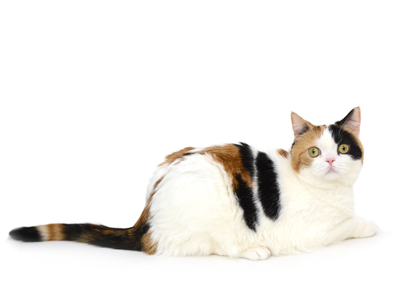 エムドッグス,動物プロダクション,ペットモデル,ペットタレント,モデル猫,タレント猫,スコティッシュフォールド,はな