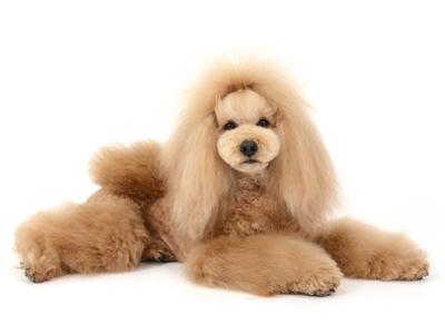 エムドッグス,動物プロダクション,ペットモデル,ペットタレント,モデル犬,タレント犬,トイプードル,ROY,ロイ