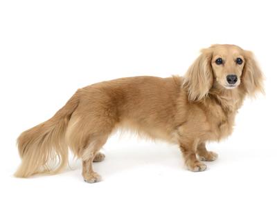 エムドッグス,動物プロダクション,ペットモデル,ペットタレント,モデル犬,タレント犬,ミニチュアダックスフンド,ちぽさん