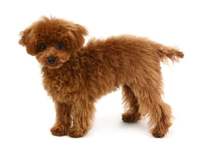 エムドッグス,動物プロダクション,ペットモデル,ペットタレント,モデル犬,タレント犬,トイプードル,もこ