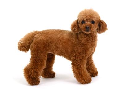 エムドッグス,動物プロダクション,ペットモデル,ペットタレント,モデル犬,タレント犬,トイプードル,ココ