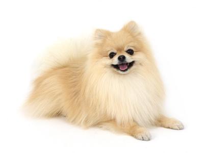 エムドッグス,動物プロダクション,ペットモデル,ペットタレント,モデル犬,タレント犬,ポメラニアン,リン