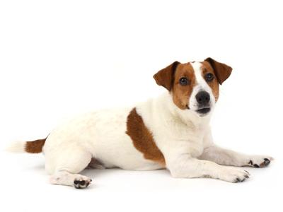 エムドッグス,動物プロダクション,ペットモデル,ペットタレント,モデル犬,タレント犬,ジャックラッセルテリア,げんた